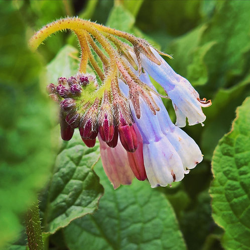 symphytum hidcote blue