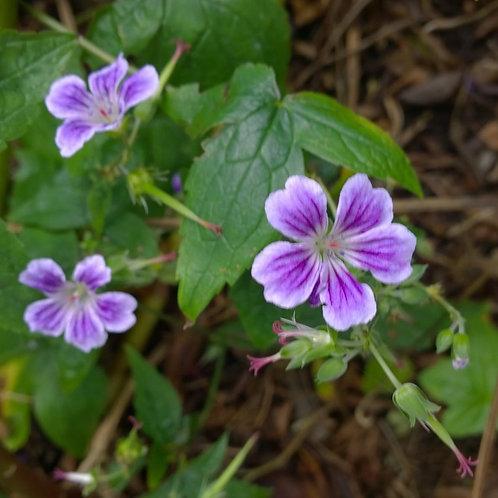 Geranium nodosum Whiteleaf