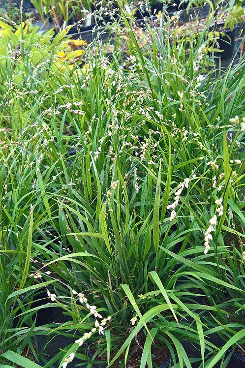 Melica uniflora Alba