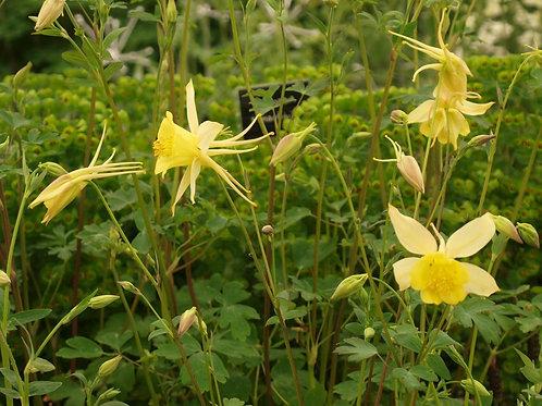 Aquilegia chrysantha Yellow Queen