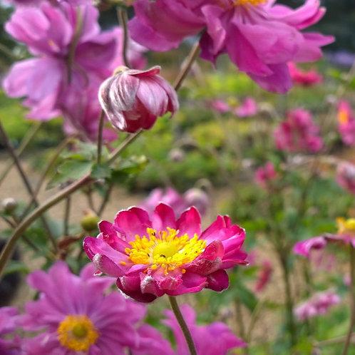 Anemone hybrida Prince Heinrich