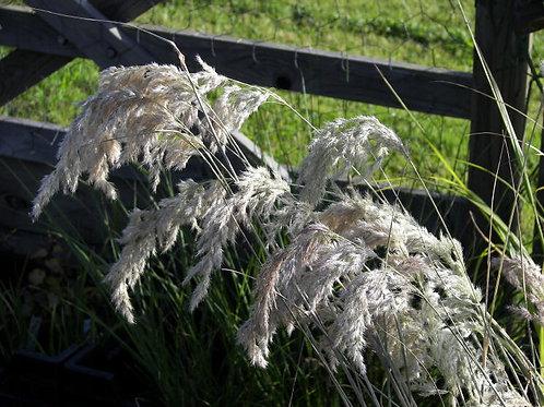 Calamagrostis emodensis