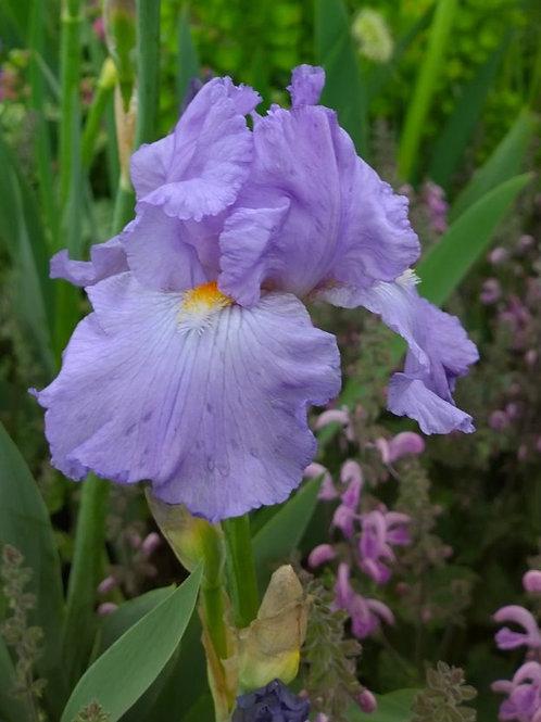 Iris Actress