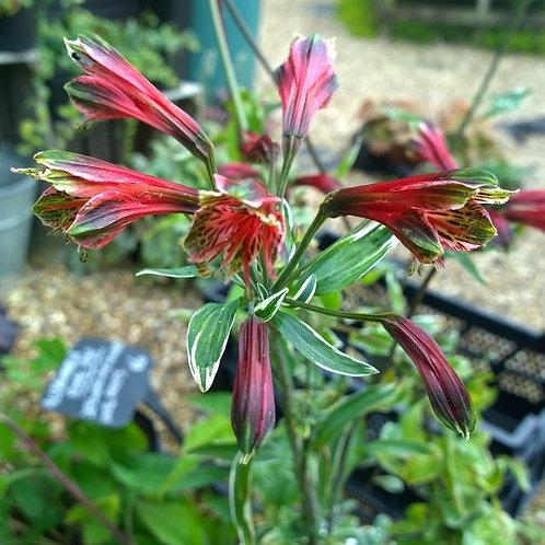 Alstromeria psittacina Royal Star