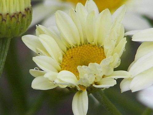 Anthemis tinctoria Sauce Hollandaise