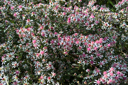 Aster laterifolius Lady in Black
