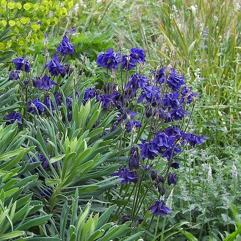 aquilegia blue barlow