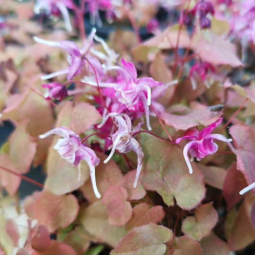 Epimedium Purple Pixie