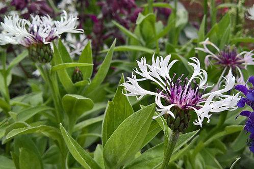 Centaurea montana Purple Heart