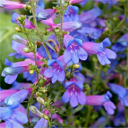 penstemon heavenly blue