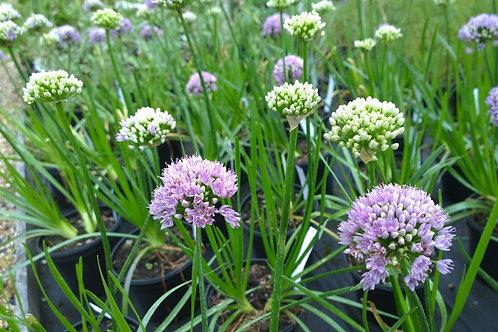 Allium scenescens