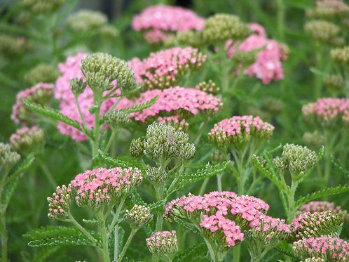 Achillea Lollipop