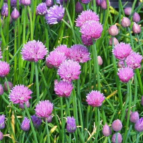 Allium schoenoprasum Forscate