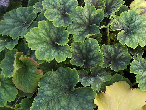 Tellima grandiflora Forest Frost