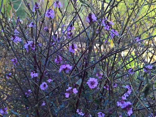 Verbena officinalis Bampton