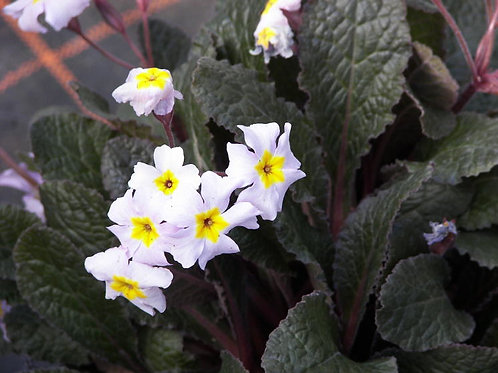Primula Garryade Guinevere