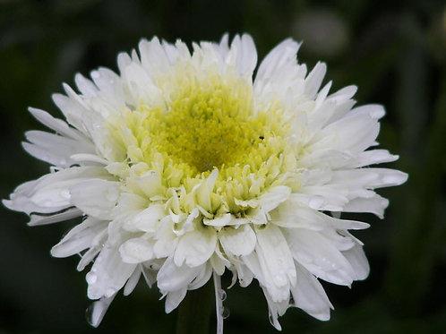Leucanthemum superbum Fiona Coghill