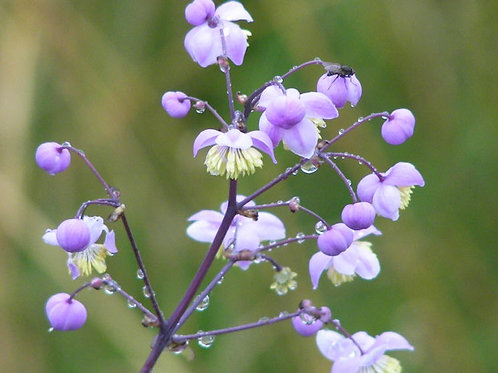 Thalictrum rochbruneanum