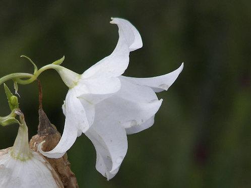 Campanula persicifolia Hampstead White