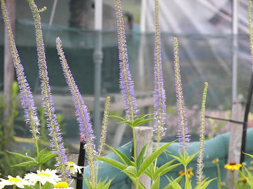 Veronicastrum virginicum Apollo