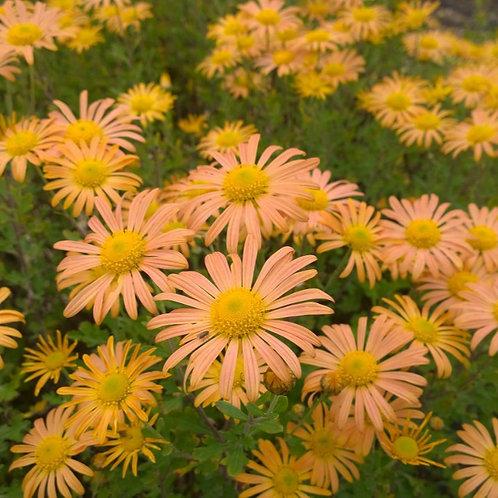 Chrysanthemum Mary Stoker