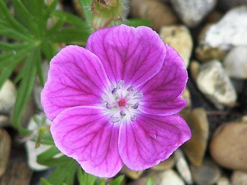 Geranium sanguineum Elke