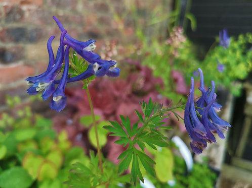 corydalis korns purple