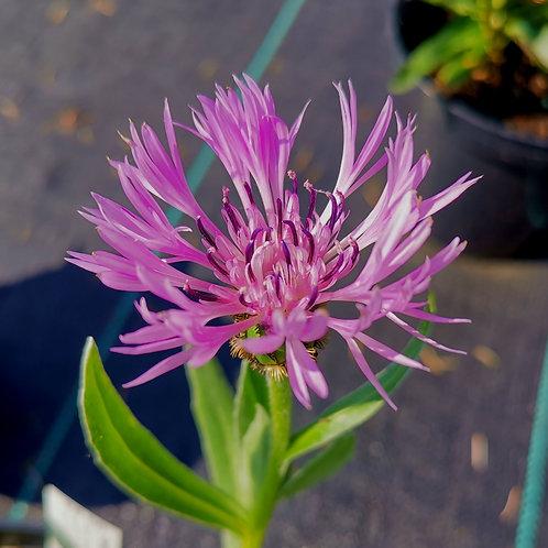 Centaurea Montana Carnea