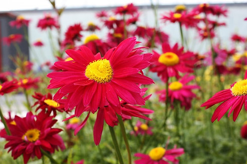 Tanacetum coccineum Robinson's Red