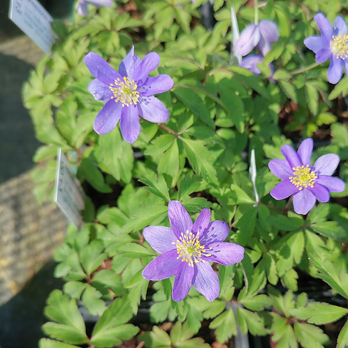 Anemone nemerosa Royal Blue