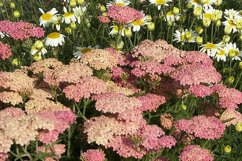 Achillea Salmon Beauty