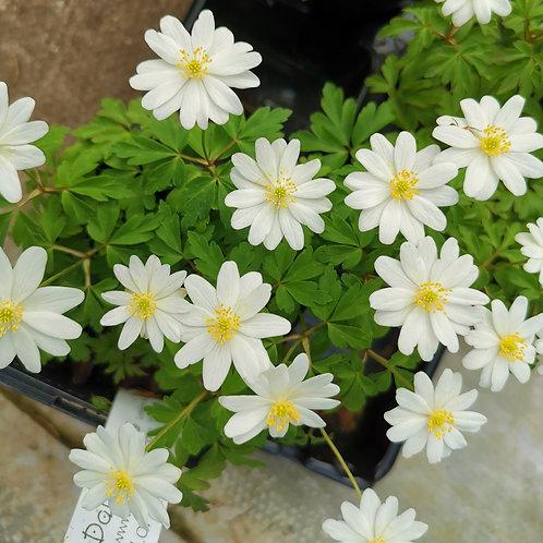 anemone nemerosa hilda