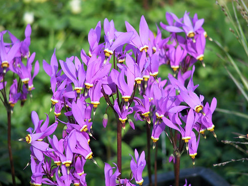 Dodecatheon Red Wings