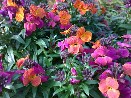Plant of the Month - Erysimums