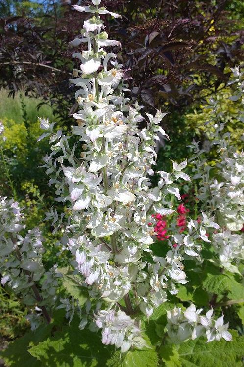 Salvia turkestanica Vatican White