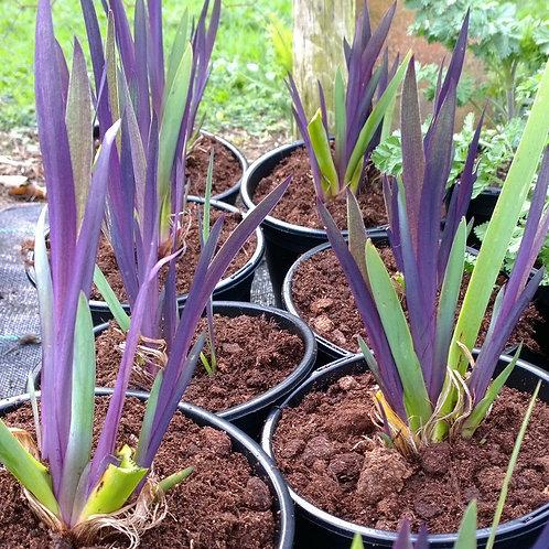 Iris x robusta Dark Aura