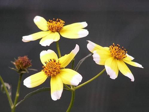 Bidens aurea Hannay's Lemon Drop