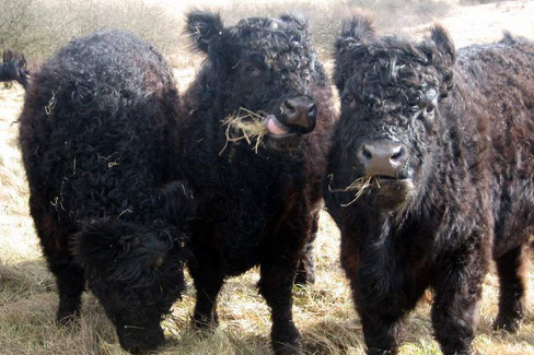 Томский АИР АПК и ГЕНЕРИУС – успешная работа с эмбриональными технологиями в молочном животноводстве