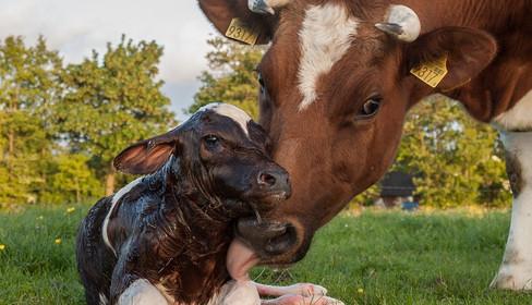 Томский АИР АПК осваивает методику экстракорпорального оплодотворения коров