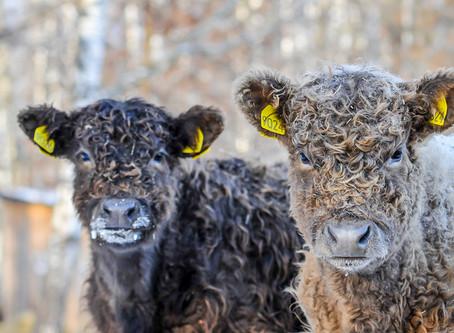 Томская область: компания «Спас» формирует племенное ядро стада галловейской породы КРС