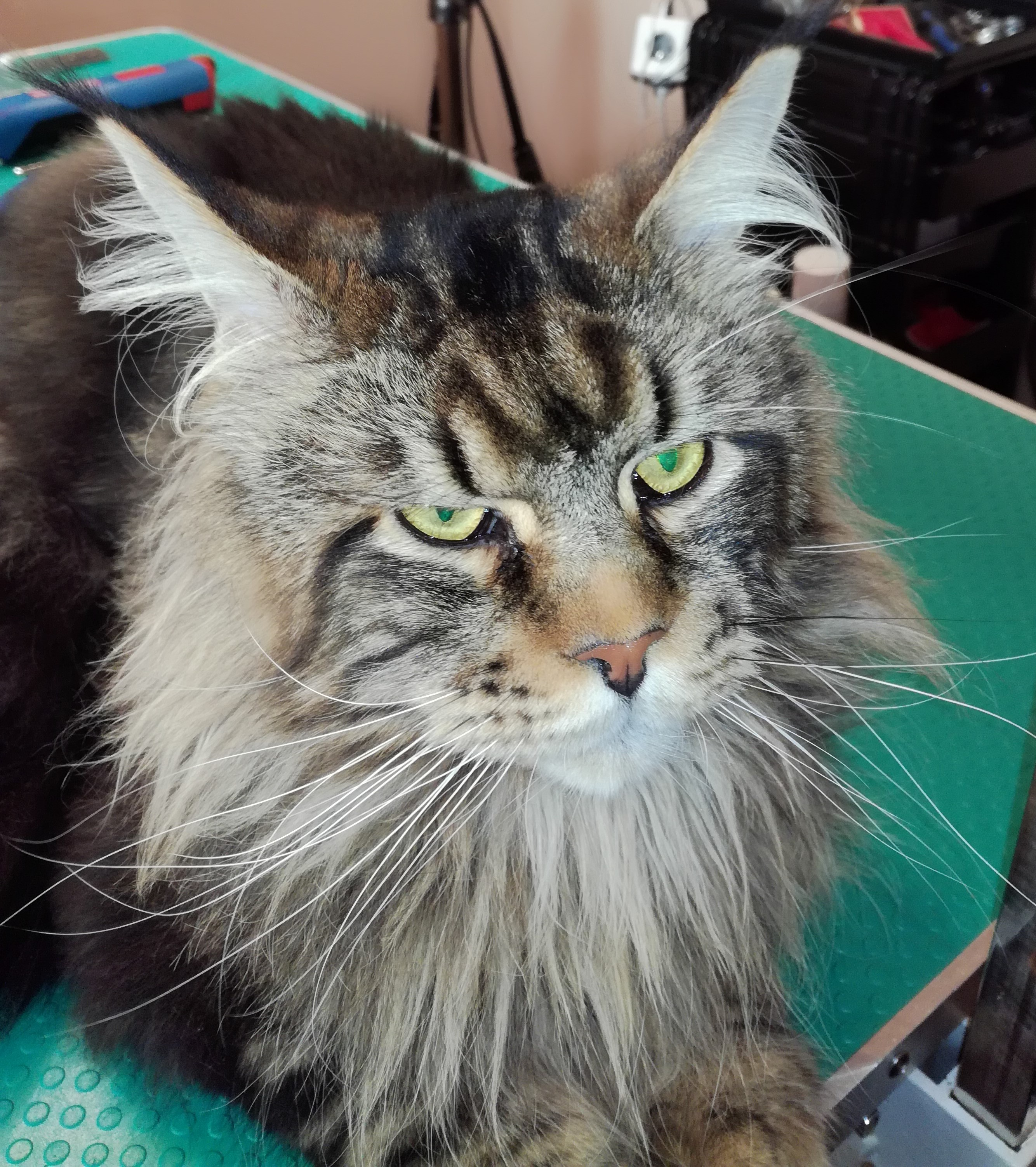 maincoon - Copie