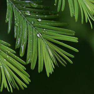 Canva - pine branch.jpg