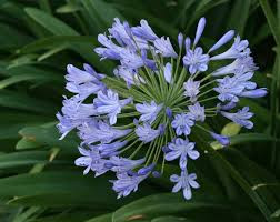 AGAPANTHUS 'LILY OF THE NILE'