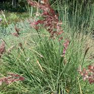 RUBY CRYSTAL GRASS