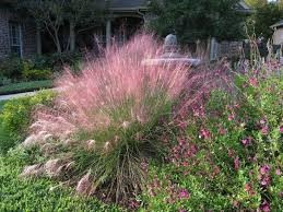 GULF MUHLY GRASS