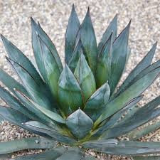 """AGAVE """"BLUE GLOW"""""""