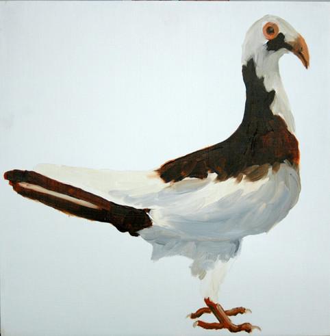 Fancy Pigeon - Scandaroon