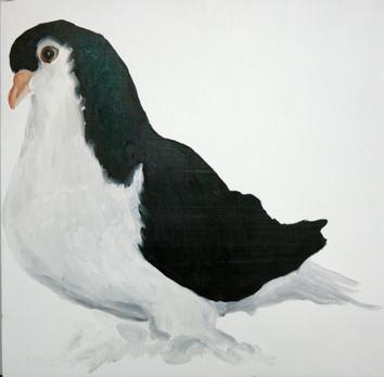 Fancy Pigeon - Black Lahore