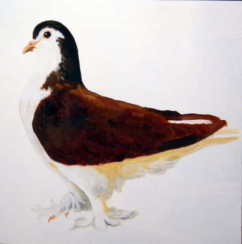 Fancy Pigeon - Red Lahore