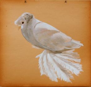 Fancy Pigeon